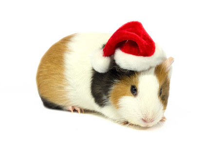 christmas guinea pig: Guinea pig in hat Santa Claus isolated on white background. Stock Photo