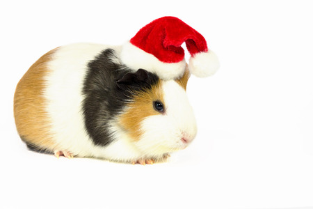 Guinea pig in a red hat with a white pompom on a white background. Stock Photo