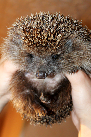 Hedgehog in the hands of the person looking into the frame.