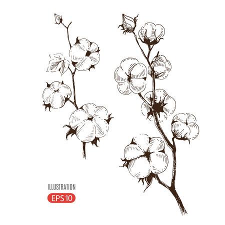 植物の綿のベクトル手描き茎。自然市場広告は、有機農業産業とバイオ製品のビジネスのための完璧なデザイン。