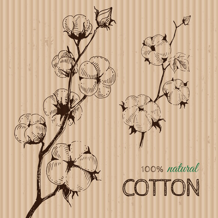 organic cotton: Vector hand drawn stems of cotton plants on cardboard. Perfect design for natural market advertising, organic farming industry and bio product business.