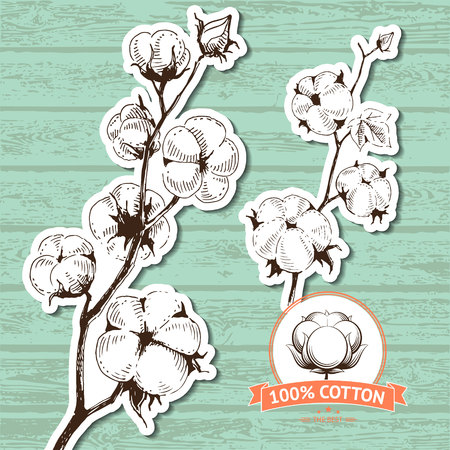 organic cotton: Vector hand drawn stems of cotton plants. Perfect design for natural market advertising, organic farming industry and bio product business.