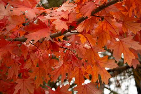 Closeup red autumn maple leaves on a tree, soft nature background