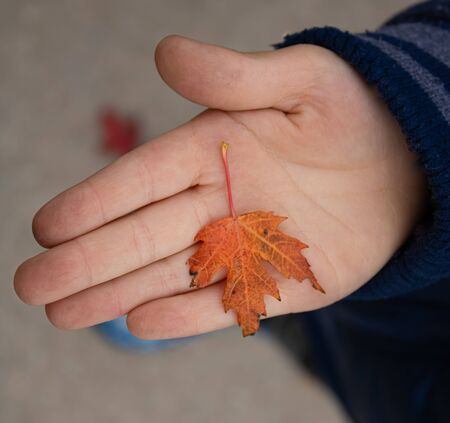 Small baby hand holding one red maple leaf in a dirty palm, vertical closeup picture Stockfoto