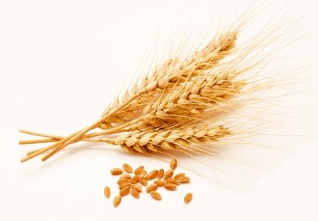 cosecha de trigo: Espigas de trigo y semillas aisladas sobre un fondo blanco