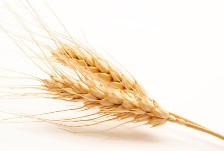 wheat crop: Espigas de trigo aislado en un fondo blanco Foto de archivo