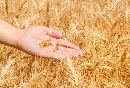 Wheat field and male hand holding grain photo