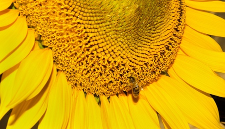 Closeup bee on a sunflower collecting pollen  photo