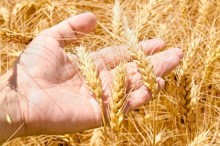 afield: Wheat field and male hand holding cone in summer day Stock Photo