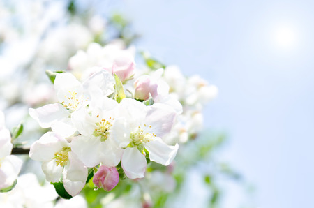 Apple blossoms and blue sky in spring day