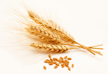 espiga de trigo: Espigas de trigo y semillas aisladas sobre un fondo blanco