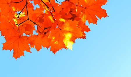 sky brunch: Autumn maple leaves and  blue sky background outdoor