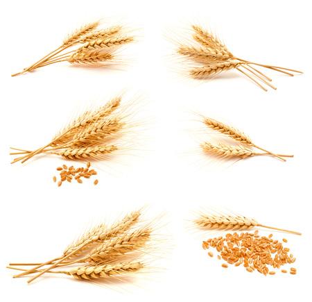 cosecha de trigo: Colección de fotos oídos de trigo y semillas aisladas sobre un fondo blanco