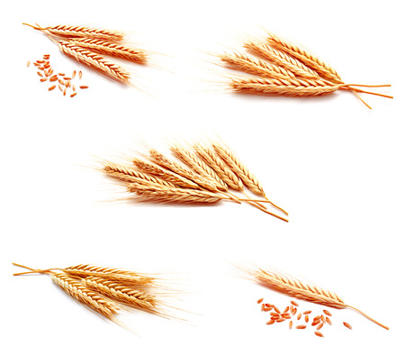 Collection of photo wheat ears corn isolated on a white background close up