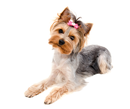 Beautiful funny puppy yorkshire terrier with bow isolated on a white closeup
