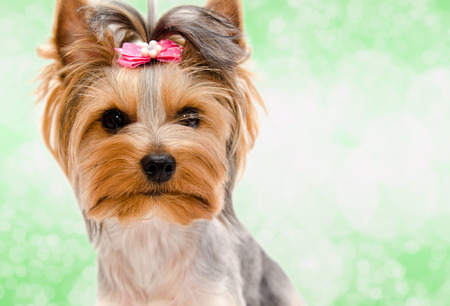 Beautiful funny puppy yorkshire terrier with bow isolated on a green closeup