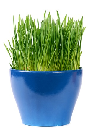Green grass in pot isolated on white photo