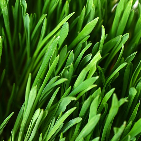The green grass as a background close-up photo