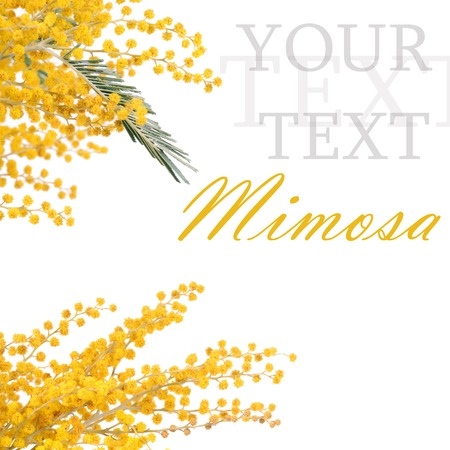 The yellow mimosa  isolated on white  photo
