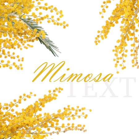 The yellow mimosa  isolated on white background