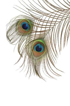 きれいな白で隔離孔雀の羽