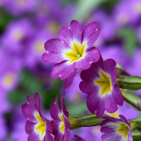 The flower lilac primrose as a background photo