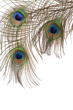 Beautiful feather of peacock isolated on white photo