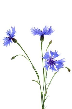 centaurea: The beautiful cornflower isolated on white