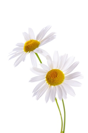 chamomile flower: The beautiful daisy isolated on white background Stock Photo
