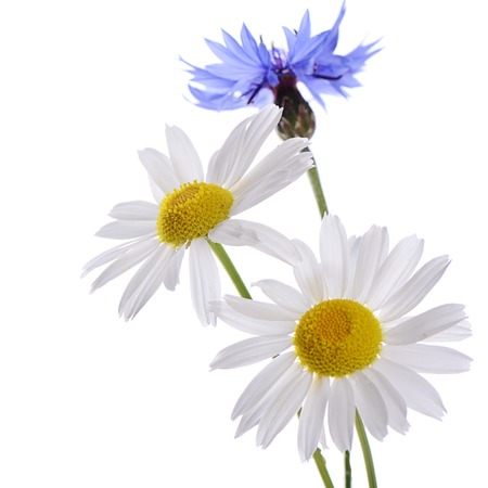 The cornflower and daisy isolated on white