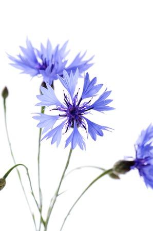 garden cornflowers: The beautiful cornflower isolated on white background