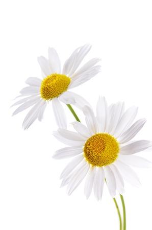 marguerite: La belle Daisy isol� sur fond blanc