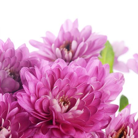 Flower pink chrysanthemums on isolated white background photo