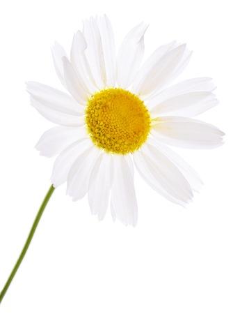 marguerite: La belle Daisy isolé sur fond blanc