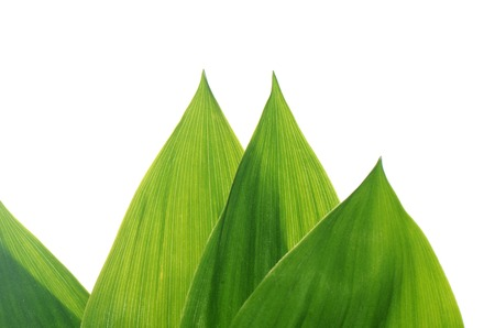 Green leaves of lily of the valley