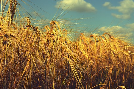 ripened: Field with the ripened rye against sky