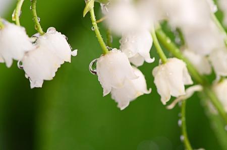 majalis: The lily of the Valley - Convallaria Majalis Stock Photo