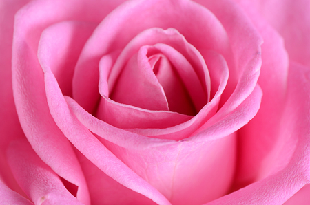 The pink beautiful rose as a background