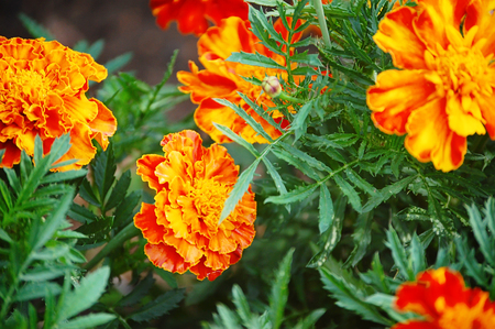 wedding decoration: The marigolds Tagetes erecta in the garden