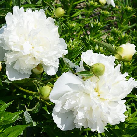 pion: White peony as a background. Close up