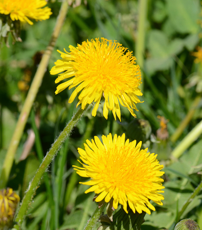 the yellow dandelion in a green grass