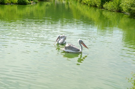 The two pelican swimming in a pond Stock Photo
