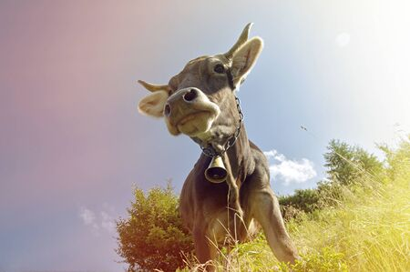 grazing cows: A cow with a bell around his neck grazing on a clear day