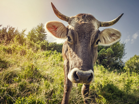milker: A curious cow on the background alpine meadow Stock Photo