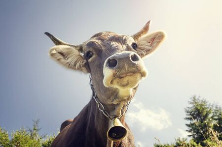 milker: Funny portrait of a cow with a bell around his neck Stock Photo