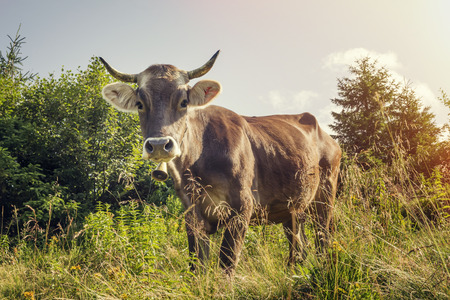 beast ranch: A cow with a bell around his neck grazing on a clear day