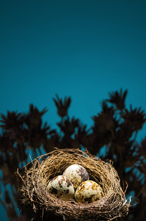 Quail eggs in nest on blue background. Stock Photo