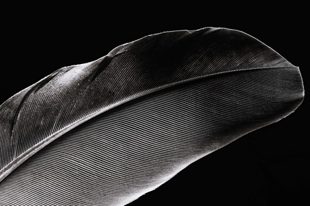 Fragment of birds feather, close-up. Black and white.