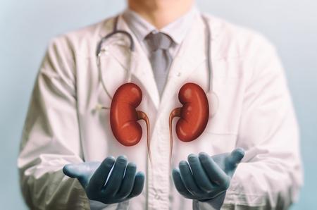 Image d'un médecin en blouse blanche et reins au-dessus de ses mains. Concept de reins sains.