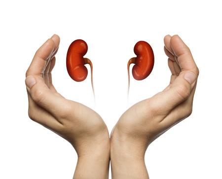 Eine menschliche Nieren zwischen zwei Handflächen einer Frau auf weißem Hintergrund isoliert. Das Konzept einer gesunden Nieren.